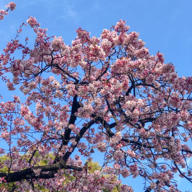 上野公園カンザクラ