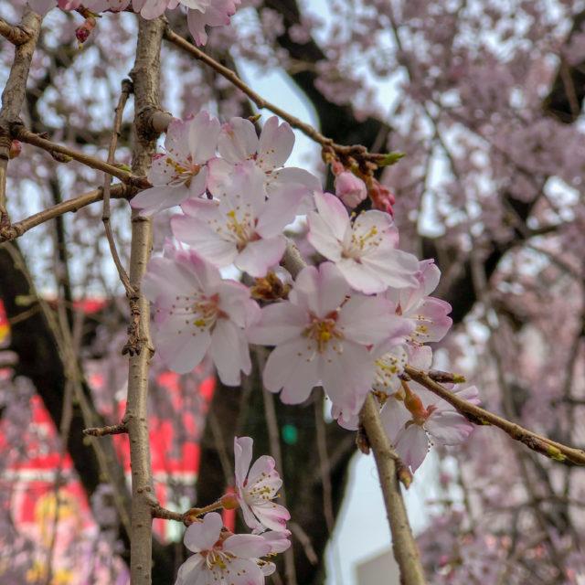 桜満開セール開催!
