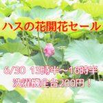 6/30(火)ハスの花開花セール開催!