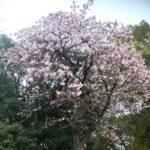 2021年上野公園カンザクラ咲き始めました!