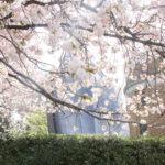黄砂も花粉も多いですが、遅咲き桜が見頃です!