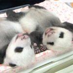 上野動物園の双子のパンダ名前募集中!